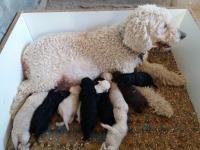 Numerosa y excelente camada de cachorros en colores negro, beig y marrón