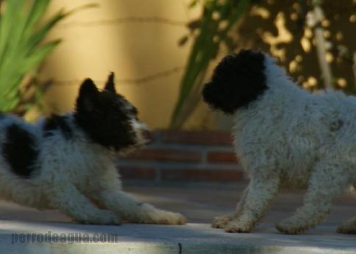 Excelente pareja de cachorros pintos