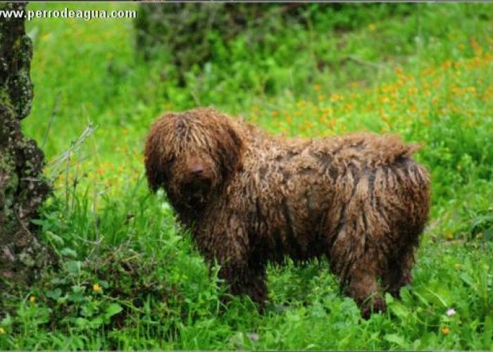 Bigorra del morrúo en la Sierra del Torcal, perro de agua español