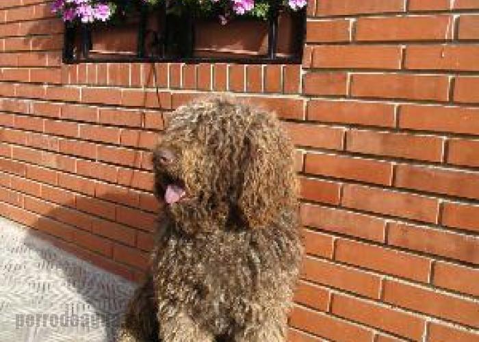 Archidona, perro de agua español